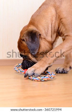 large pet bullmastiff dog playing with his toy