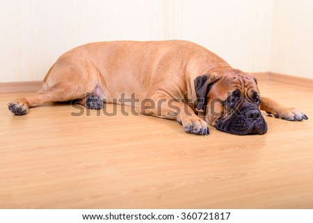 large pet dog bullmastiff lying on the floor