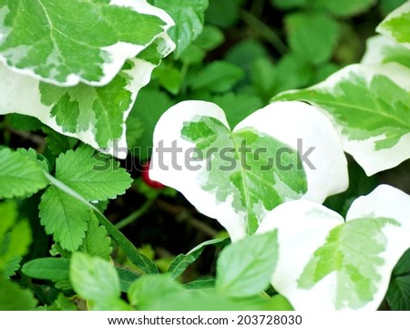 Large Philodendron plants  - stock photo