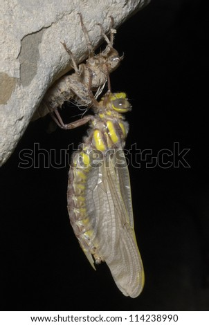 Large Pincertail Dragonfly (Onychogomphus uncatus) emerging in the pyrenees