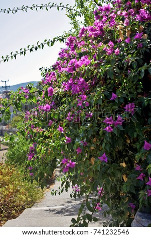 Large pink flowering bush shrubs lining stock photo royalty free large pink flowering bush and shrubs lining the edge of a pathway in turkey mightylinksfo