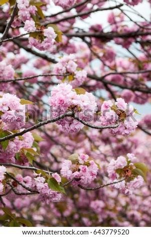 Large pink flowers cherry blossom tree stock photo 643779520 large pink flowers of cherry blossom tree close up view of japanese sakura mightylinksfo