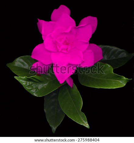 large pink gardenia flowers with green leaves on black background - stock photo