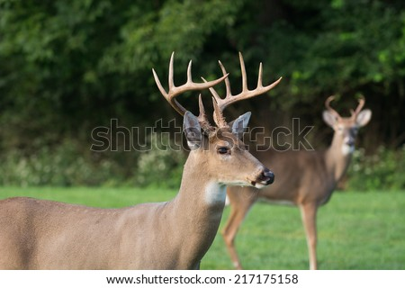 Large 12-point whitetail deer buck in a meadow in Jefferson Barracks National Cemetery in St, Louis, Missouri - stock photo