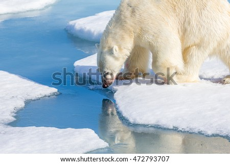 Large polar bear, about 1200 pounds, stops for a drink of melted snow