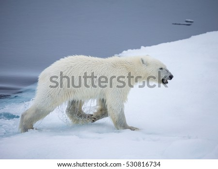 Large polar bear climbs up on a piece of ice near Norway