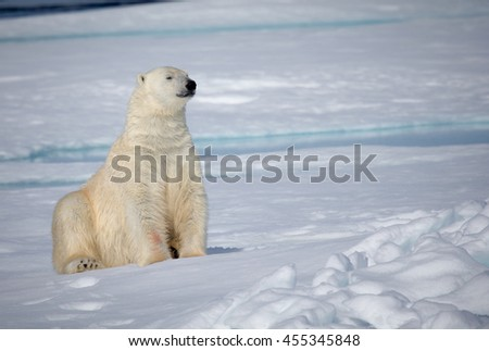 Large polar bear sits on Arctic ice near Spitsbergen, Norway
