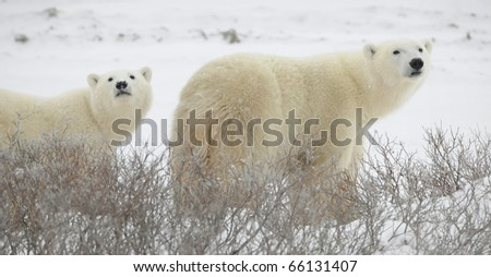 Large polar bears on the arctic snow near Hudson Bay, sniffing the air.Snow.Tundra. - stock photo
