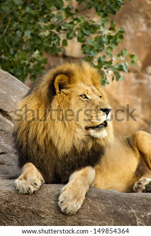 Large, powerful male lion sits on a tall boulder at sunset at our local zoo. Closing time means feeding for many of the animals. This lion waited at a high perch to watch for his caretaker and dinner. - stock photo