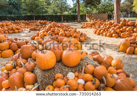 Large pumpkin patch with early morning sunshine and larger pumpkins sitting on a hay bale