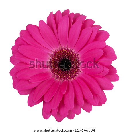 Large purple flower gerbera on a white background