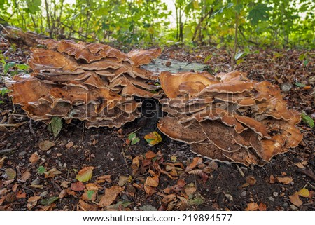 Large red and brown mushrooms on forest floor