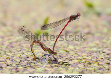 Large red damselfly male holds female by its head in tandem position during egg laying to guard her from rivals