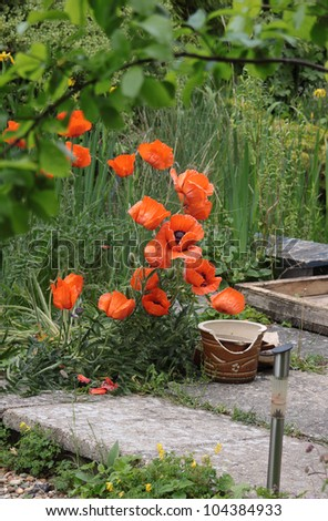 Large red poppies growing on a patio area next to an overgrown garden pond area and green foliage. Broken pots and a solar patio light to the foreground of image.