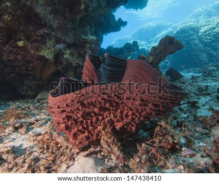 Large red prickly tube sponge underwater on a tropical coral reef