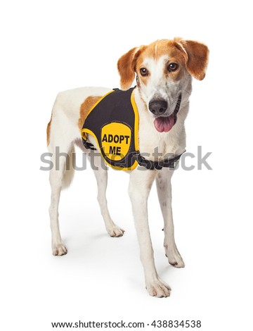 Large rescue dog wearing Adopt Me vest while standing on white - stock photo