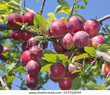 Large ripe plums on the branches