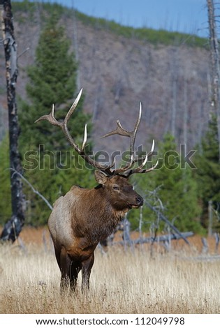 Large Rocky Mountain Elk in grassland meadow, with evergreen trees and blue sky n the background; Madison River Valley, Yellowstone National Park - stock photo