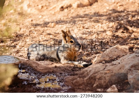Large Rodent resting during daytime - stock photo