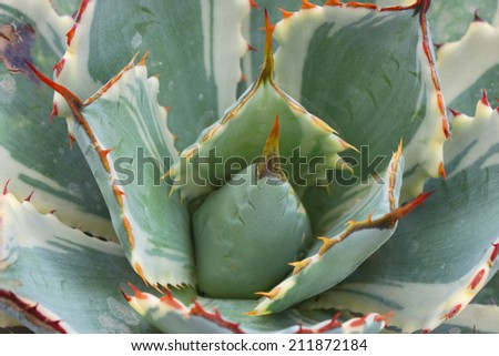 Large rose of a succulent plant  - stock photo