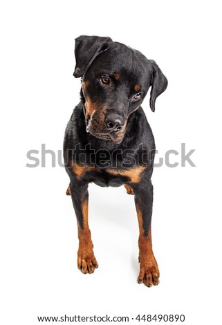 Large Rottweiler dog standing on white looking down at ground