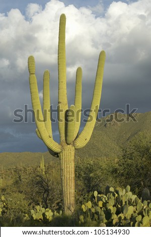 Large saguaro cactus and white puffy clouds in spring in Saguaro National Park West, Tucson, AZ