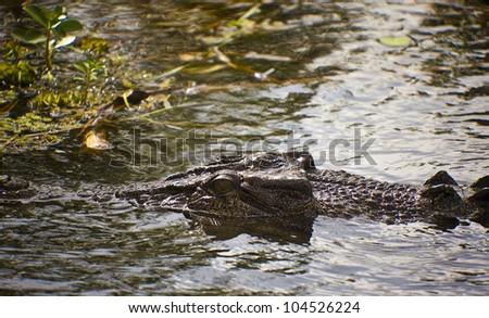 Large saltwater crocodile, Yellow water billabong, Kakadu National Park, Northern Territory, Australia - stock photo