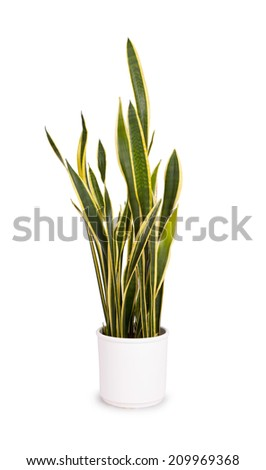 Large sansevieriya in a white pot, isolated on white - stock photo
