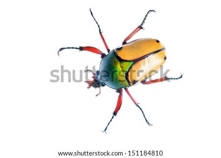 large scarab beetle Eudicella smithii - stock photo