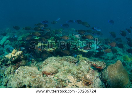 Large School of Blue Tangs, Doctorfish, and Surgeonfish swimming over a reef in Broward County, Florida. - stock photo