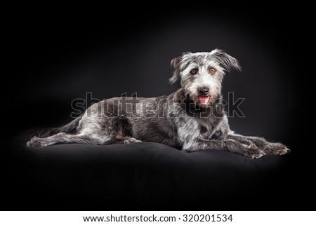Large scruffy terrier mixed breed dog laying on a black studio background - stock photo