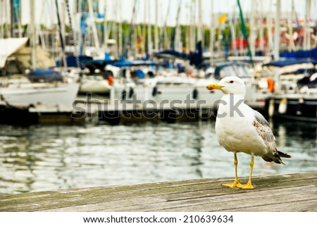 large sea gull standing on a pier on the background of yachts - stock photo