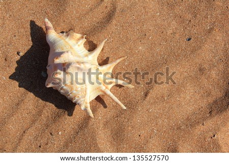 Large sea shell lying on the brown sand