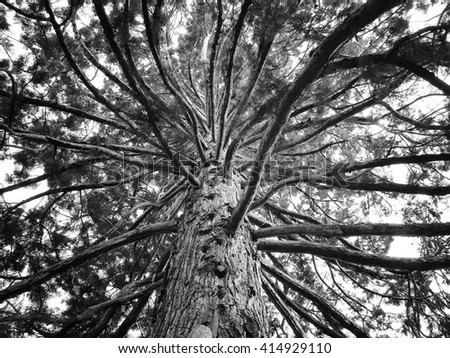Large sequoia tree with giant branches seen from below, dramatic, black and white - stock photo