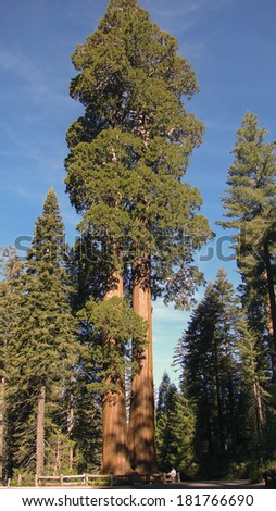 large sequoia trees at distance - stock photo