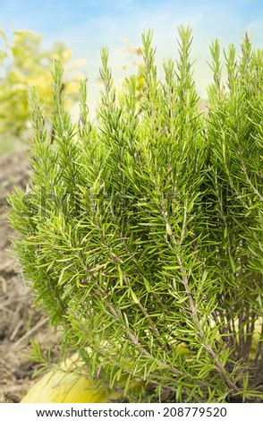 large shrub of rosemary in  garden - stock photo