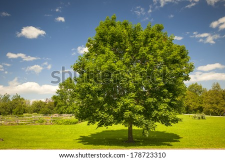 Large single maple tree on sunny summer day in green field with blue sky - stock photo