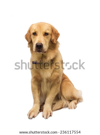 large size golden retriever isolated in white background with clipping path - stock photo