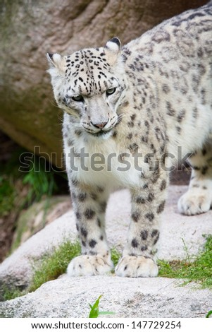 Large snow leopard in a mountain side.