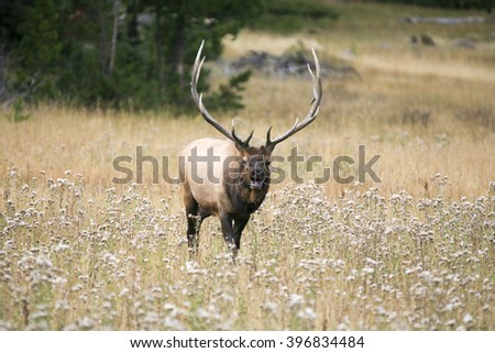 Large solitary bull elk (Cervus canadensis) bugling in a meadow