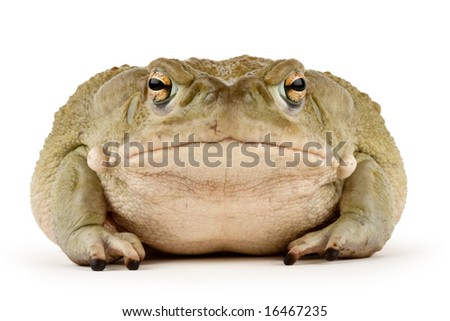 Large Sonoran Desert Toad with a small scar above his mouth, isolated on a white background - stock photo