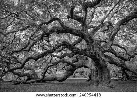 Large southern live oak (Quercus virginiana) near Charleston, South Carolina - stock photo