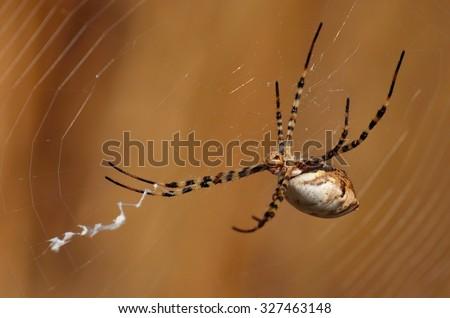 Large spider Argiope argentata - stock photo