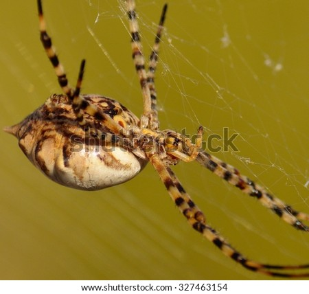 Large spider argiope argentata on its network - stock photo