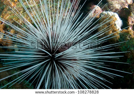 Large Spiny Urchin making its way across a coral reef. - stock photo