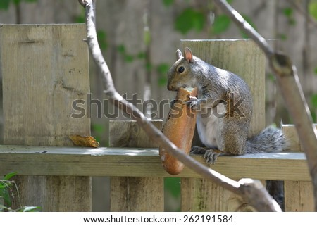 Large squirrel eating bread in the garden - stock photo