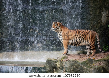 Large striped tiger - stock photo