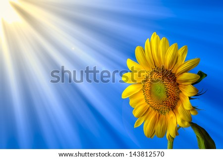 Large sunflower isolated against a sunny sky