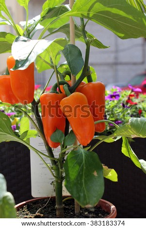 Large sweet red pepper. Vegetable growing in a pot. - stock photo