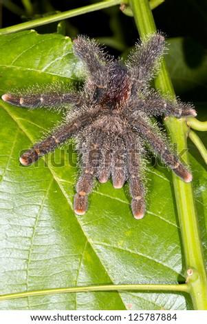 Large tarantula on a leaf in rainforest, Ecuador - stock photo